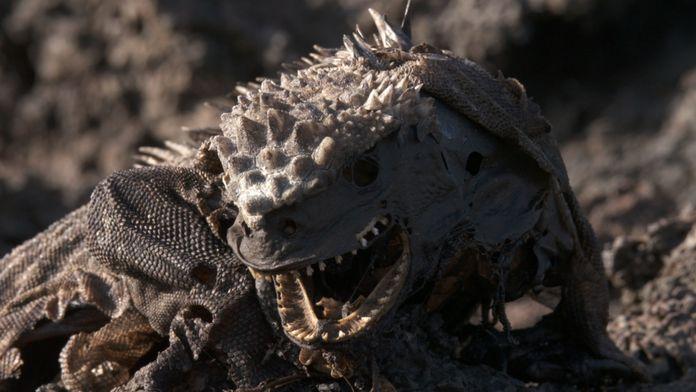 L'iguane marin des Galápagos : Une mystérieuse disparition