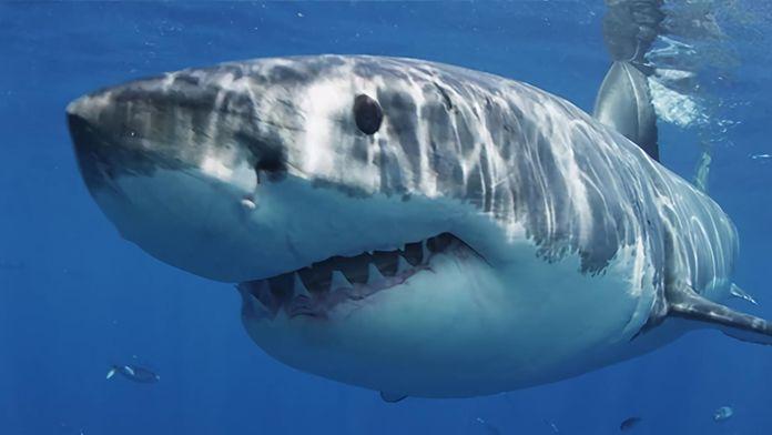 Le règne du grand requin blanc