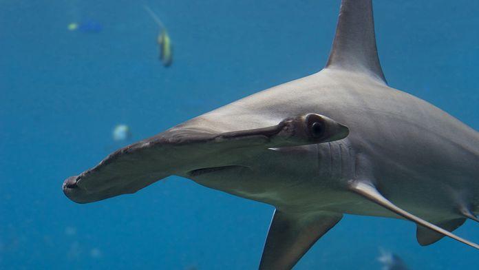 Les requins tueurs
