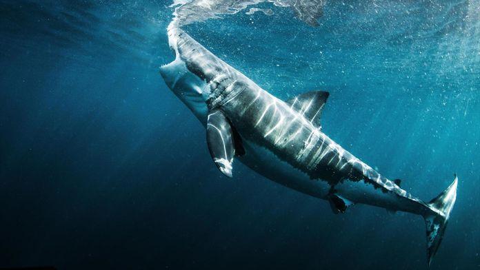 Festin de requins