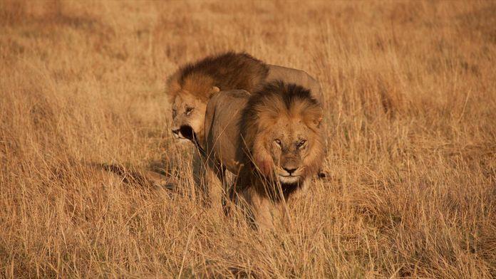 Frères lions : Le rêve d'un royaume